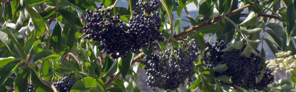 Elderberries!