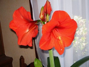 Hippeastrum_Red_Lion